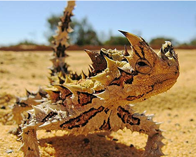 main diet of a thorny devil?